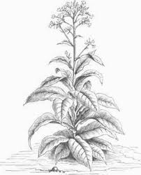 a tobacco plant